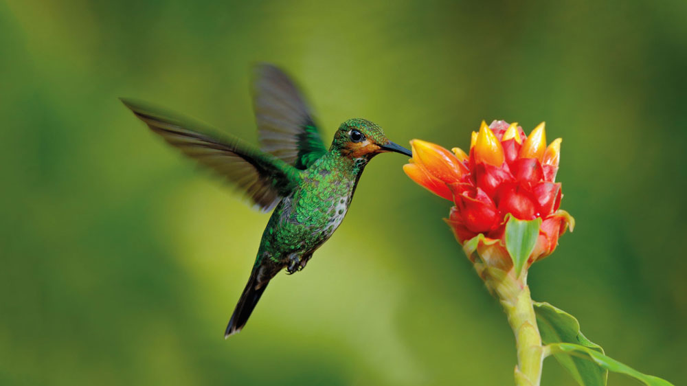 kanegrade-humming-bird-crop